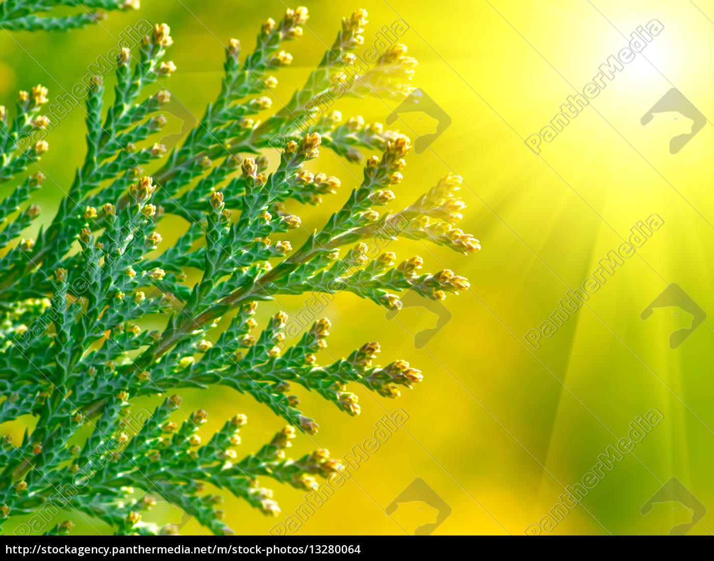 Amerikanischen Lebensbaum (Zypresse),Makro - Lizenzfreies Foto ...