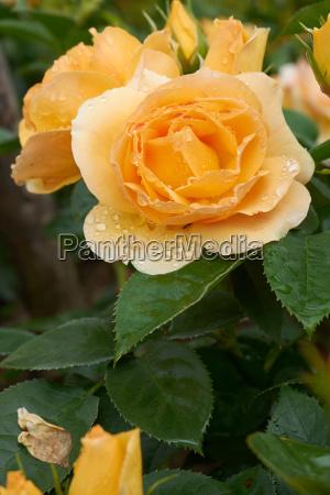rosenbluete