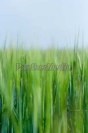 feld wachsen korn kornfeld getreidefeld gruen
