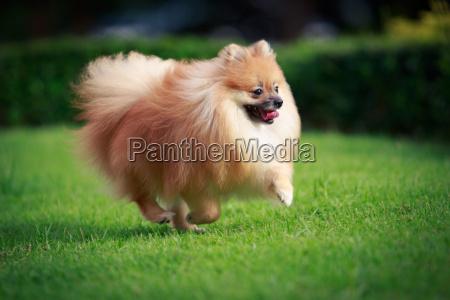 pommerschen hund auf dem rasen laufen