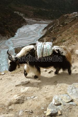yaks lastentiere in nepal