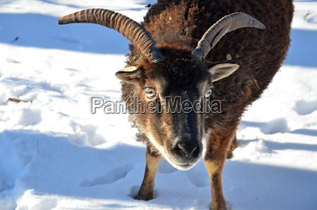 winter animal sheep cornets flock of