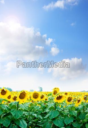 gelbe sonnenblumen