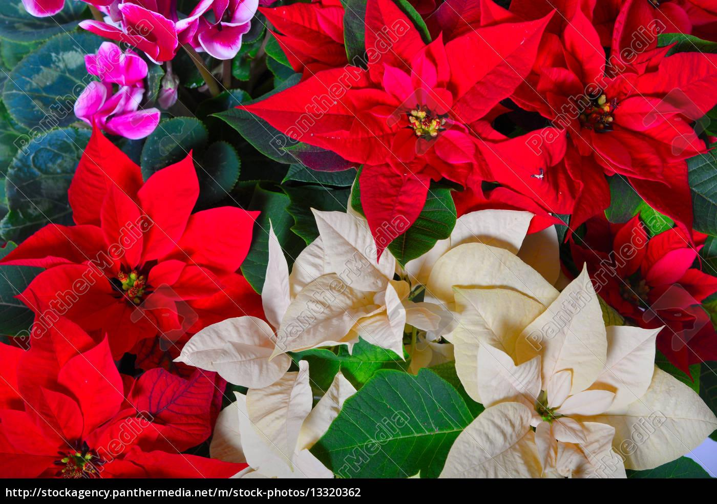 Weihnachtsstern Holz Hintergrund - Stock Photo - #13320362 ...