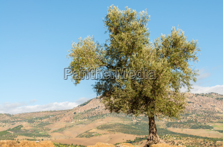 olive tree in morocco africa