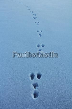 hasenspuren im schnee