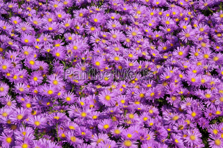 dense flower carpet made of purple