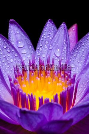 makro gelb carpel von lila lotusblume