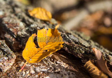 autumn leaf on tree trunk