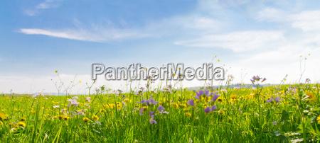 fruehlingswiese mit blauem himmel panorama