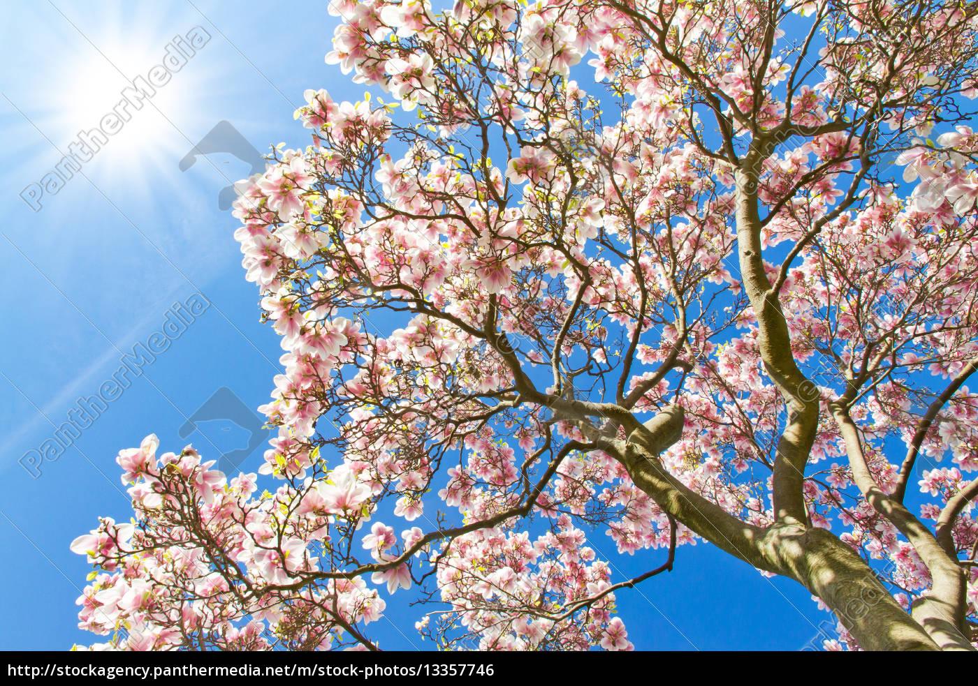 magnolienbaum im fr hling stockfoto 13357746. Black Bedroom Furniture Sets. Home Design Ideas