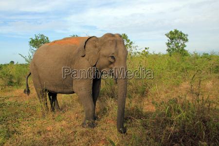 lankesischer elefant