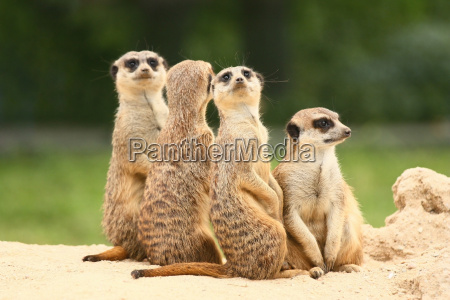 group of meerkats on the