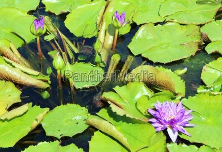 flowering water lilies