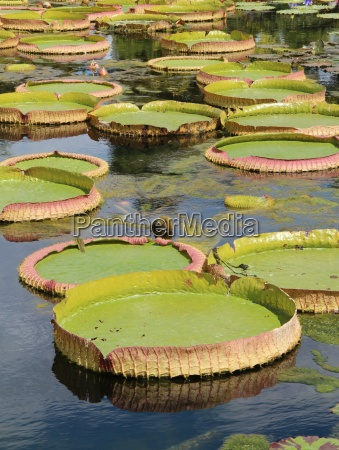 floating water lily leaves