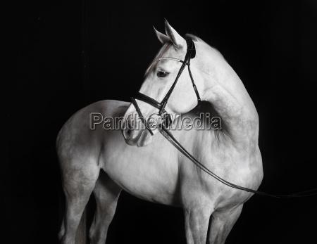 holsteiner horse white against a black