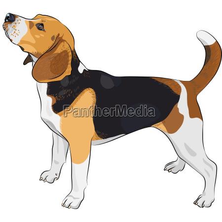 vektor skizze hund rasse beagle