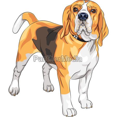 vektor skizze schweren hund rasse beagle