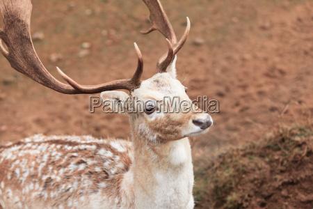 fallow deer buck bei park