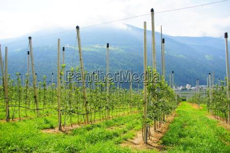 young fruit plantationrn
