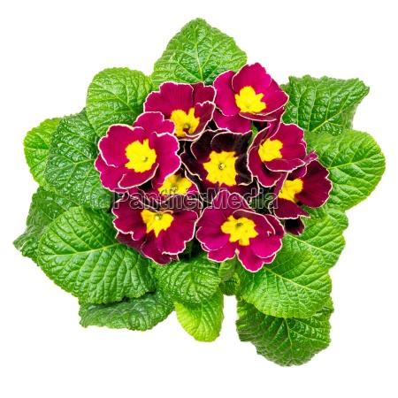 dark red primrose