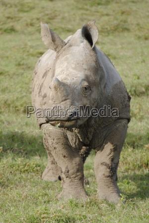 junges breitmaulnashorn in suedafrika gefaehrdet und