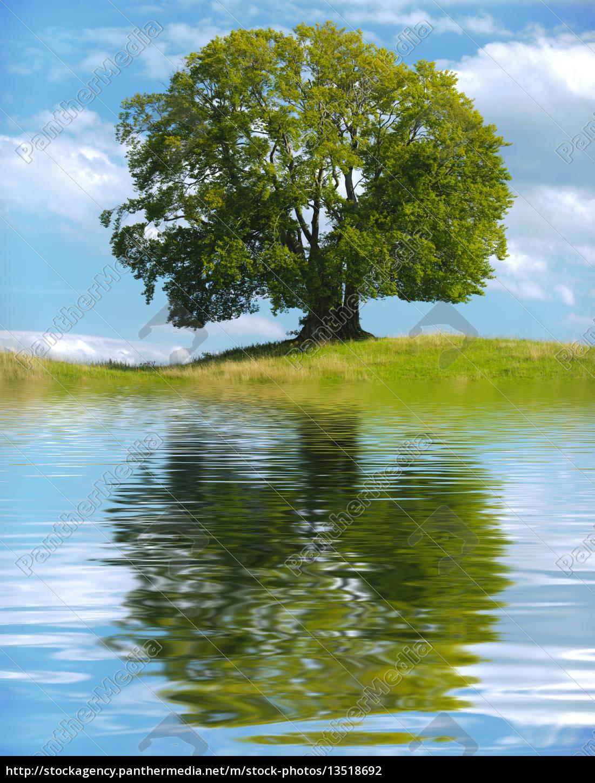 gro er alter baum als einzelbaum mit spiegelung im see lizenzfreies foto 13518692. Black Bedroom Furniture Sets. Home Design Ideas