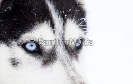 close up schuss von husky blauen