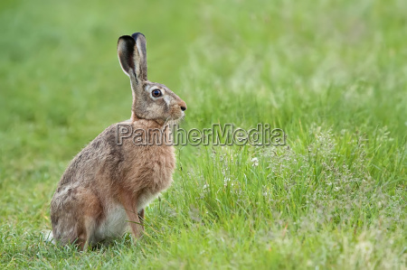 hare in the wild in a