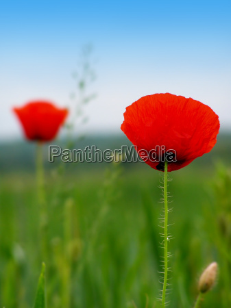 wild flowers and red poppies