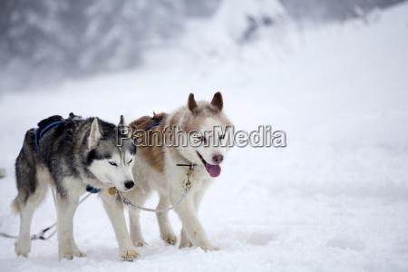 siberian husky hunden im schnee