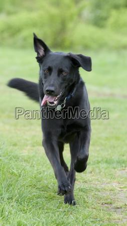 schwarzer hund labrador mix laeuft auf