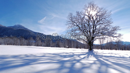 tree winter branches oak winter landscape