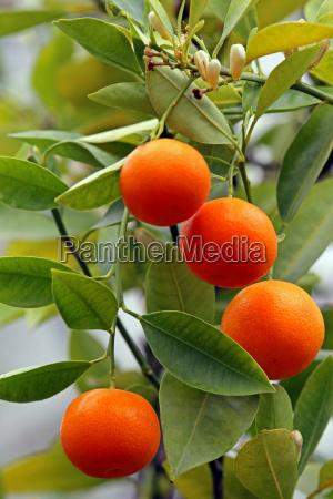 calamondinorange citrofortunella macrocarpa