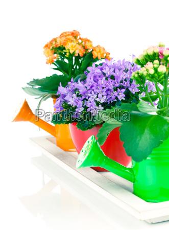blaue glockenblume und kalanchoe calandiva blumen