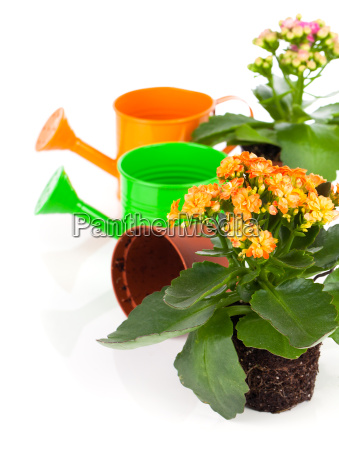 kalanchoe flower in a flower pot