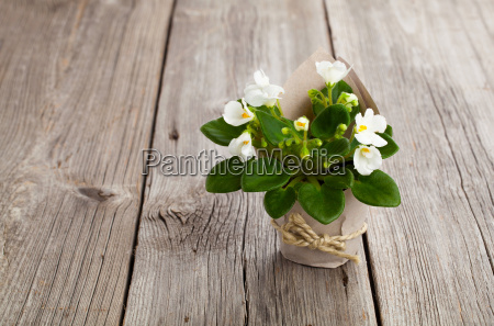 white flowers saintpaulia