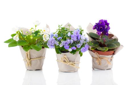bellflowers and saintpaulia in packaging made