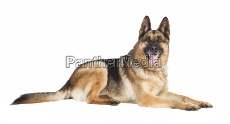 shepherd dog is located