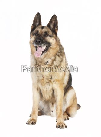 schaeferhund sitting