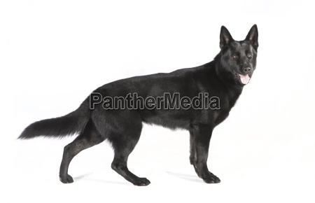 black shepherd dog on white ground