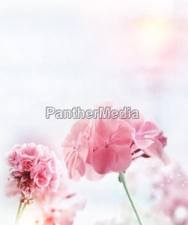 rosa pelargonie aquarell