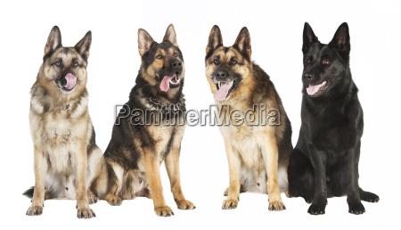 vier schaeferhunde