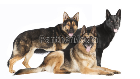 three shepherds