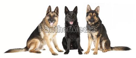 three seated sheepdogs