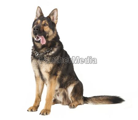 an old schaeferhund