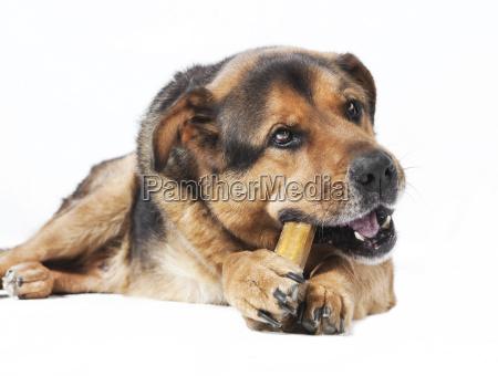 dog eats bone