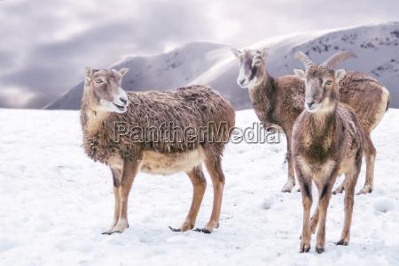 steinboecke in verschneiter bergwelt