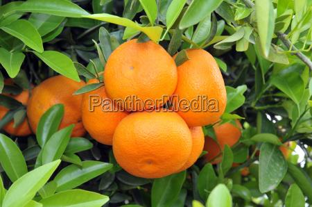 reife orangen am baum mit blaettern