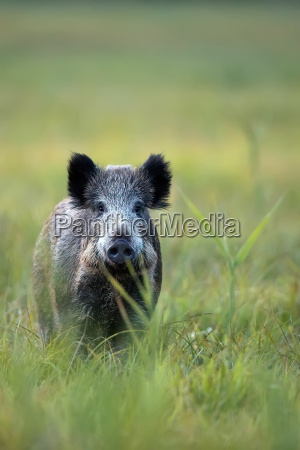 wild boar in the wild in